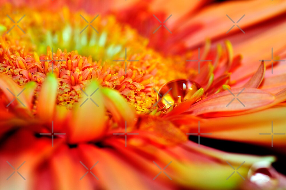 Orange Gerbera with a teardrop by marina63
