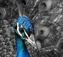 Peacock with selective colouring by SteveHphotos
