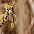 Pussy Willows by Debbie Oppermann