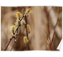Pussy Willows - Catkins Poster