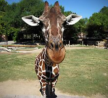 Texas the Giraffe Up Close by HDevers