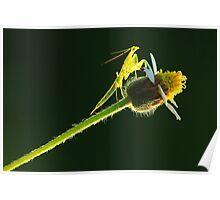 pray mantis Poster