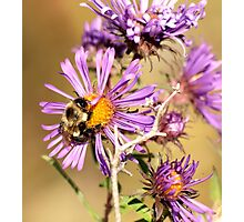 Bumble Bee Bumble Bee Photographic Print