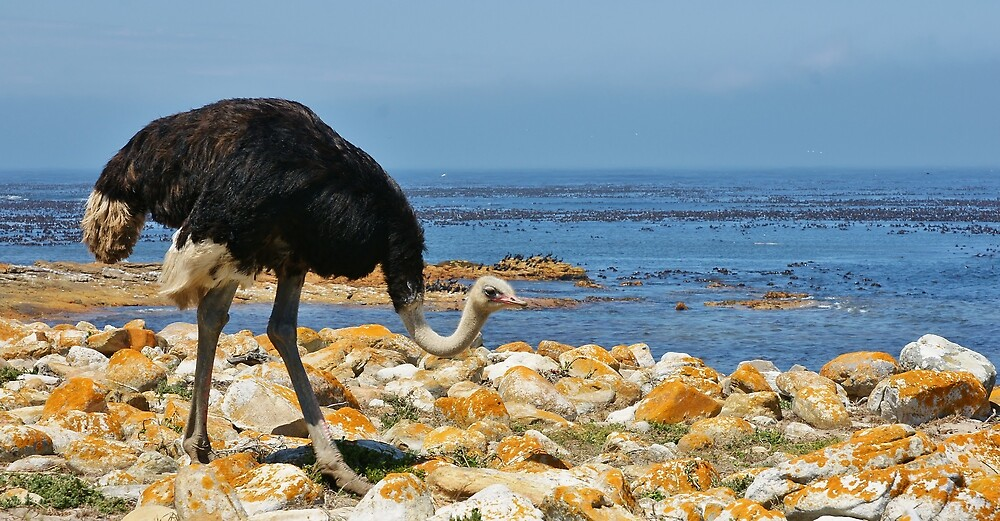 Cape Point Ostrich by roger smith
