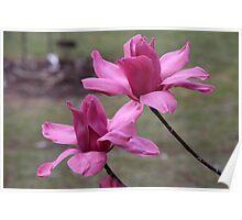 Serene cerise magnolia Poster