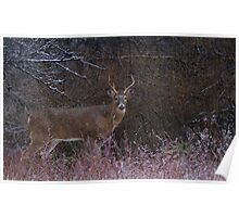 Snowy Buck - White-tailed deer Poster