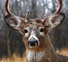 I am Prince - White-tailed deer by Jim Cumming