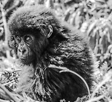 Mountain Gorilla, Volcanoes National Park, Rwanda, Africa. by Bernie Rosser