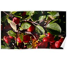 Crab Apples Poster