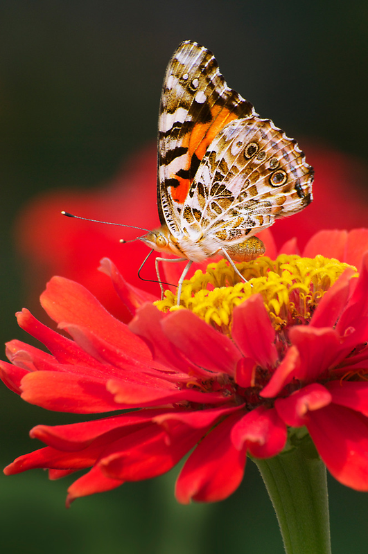 PAINTED LADY IN RED -II- by mc27