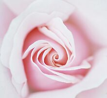 Rose Bud by pseth