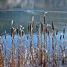 Reeds by globeboater