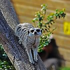 Meerkat on a tree by bobbykim666