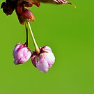 Love blooms with cherry blossoms by pseth