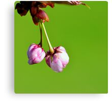 Love blooms with cherry blossoms Canvas Print