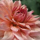 Dahlia named Preference by JMcCombie