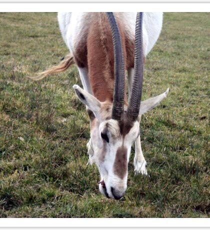Scimitar horned oryx Sticker