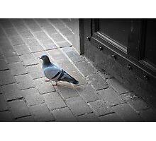 The pigeon  Photographic Print