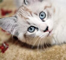 Kitty Blue Eyes by Tracy Jones