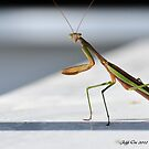 Praying Mantis by Jeff Ore