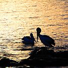 Pelicans by Asoka