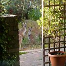 Floe & new Joey snooping closer to the house. Adelaide Hills. by Rita Blom