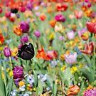 Tulip field by heinrich