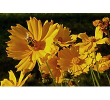 sunny bee and blossoms Photographic Print