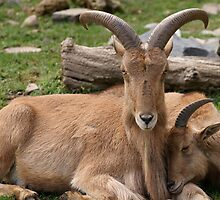 Barbary Sheep by roger smith