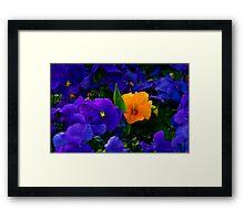 Yellow Violet Among Purple Violets Framed Print