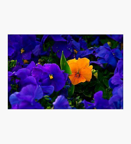 Yellow Violet Among Purple Violets Photographic Print