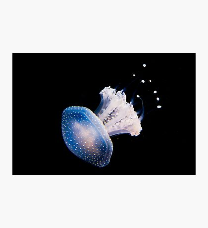 Spotted Jellyfish (phyllorhiza punctata) in an Aquarium  Photographic Print