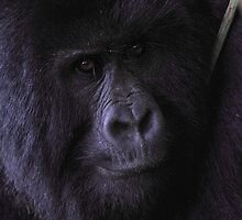Young Silverback Mountain Gorilla by Carole-Anne
