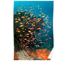 Anthias schooling in current Poster