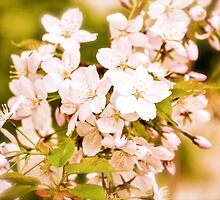 Antique Blossoms by Alison Hill