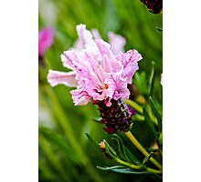 Pink Princess Lavender Photographic Print