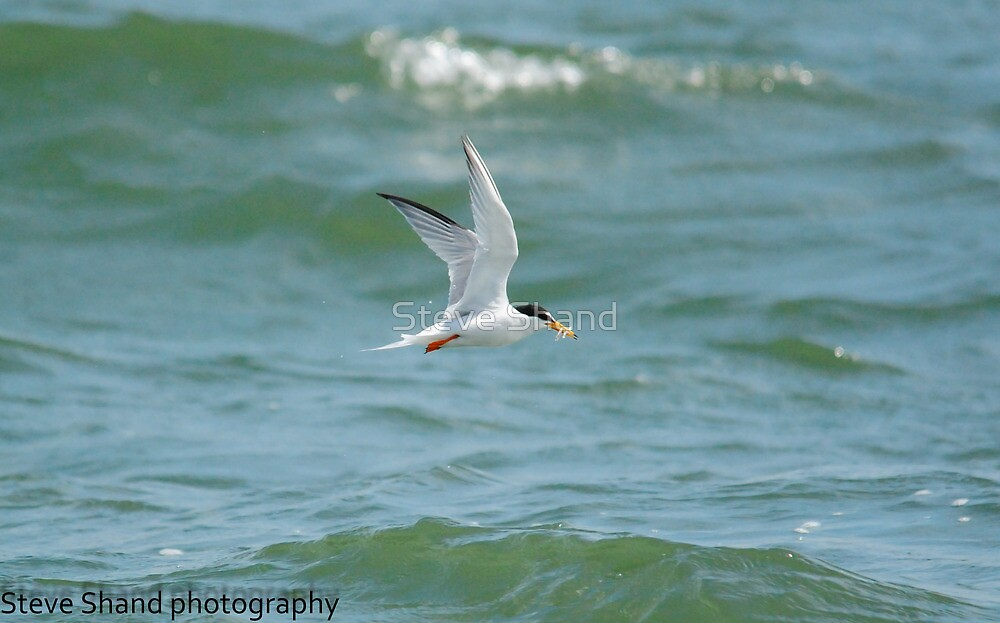 little tern with fish by Steve Shand