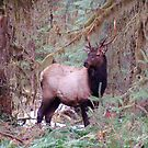 Buck in the Hoh Rainforest by FishmanPhoto