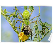 Green Lynx Spider Eats a Bee Poster