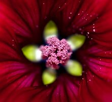 Deep into a red malva by marina63