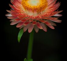 The common Strawflower looking anything but common by alan shapiro