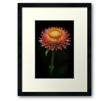 The common Strawflower looking anything but common Framed Print