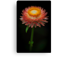 The common Strawflower looking anything but common Canvas Print