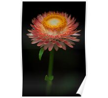 The common Strawflower looking anything but common Poster