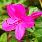 Pink Azalea Flower by BamaBruce69