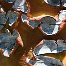 Eucalyptus caesia bark by Janette Rodgers