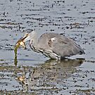 Grey Heron with fish supper by MikeSquires