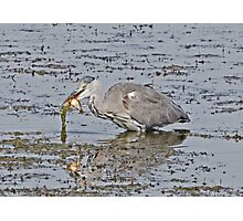 Grey Heron with fish supper Photographic Print