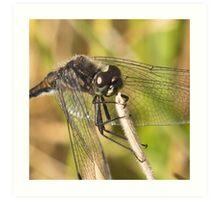 Black Darter Dragonfly Art Print