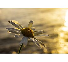 Sunlight daisy over glistening water Photographic Print